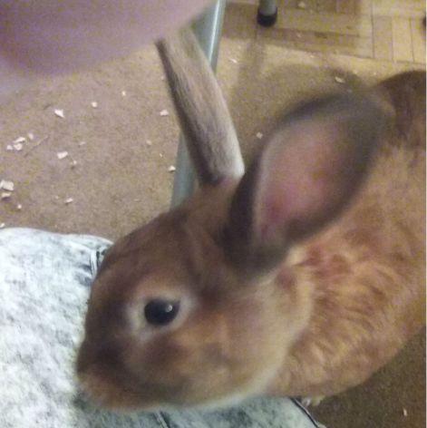 bunny lap