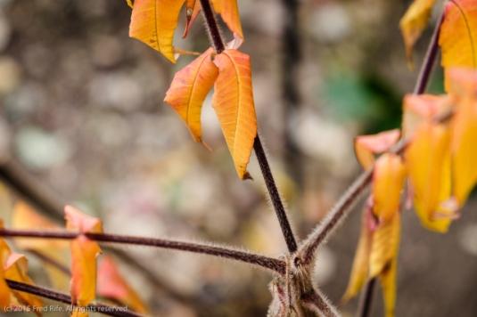 1510_Backyard fall colors_012