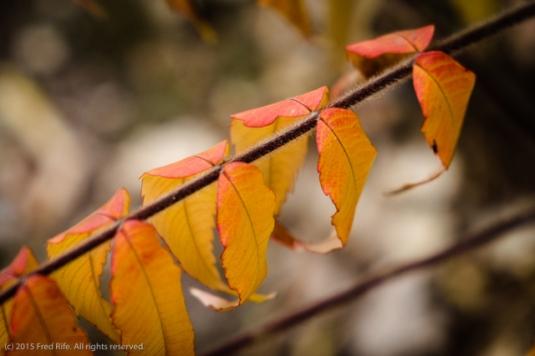 1510_Backyard fall colors_014
