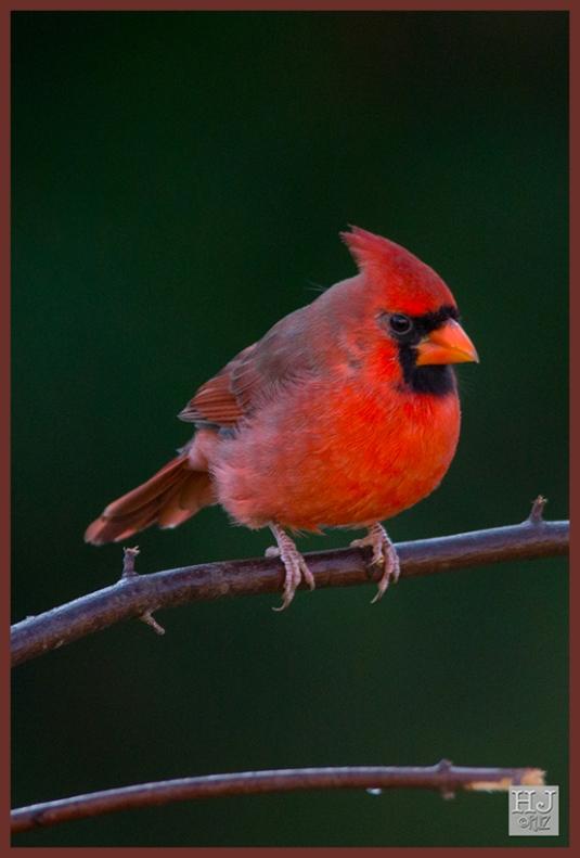 Northern Cardinal (M) -- (Cardinalis cardinals)