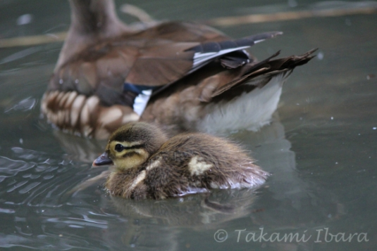 20140702-duckies-4-2