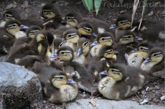 20140702-duckies-5-2