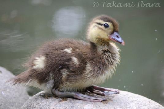 20140702-duckies-6-2