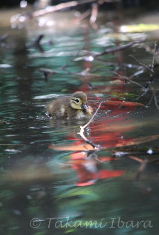 20140702-duckies-7-2