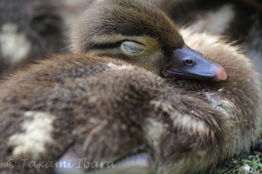 20140702-duckies-9-2